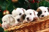 Перспективные щенки
