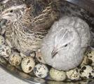 Яйцо перепелиное инкубационое и перепелят